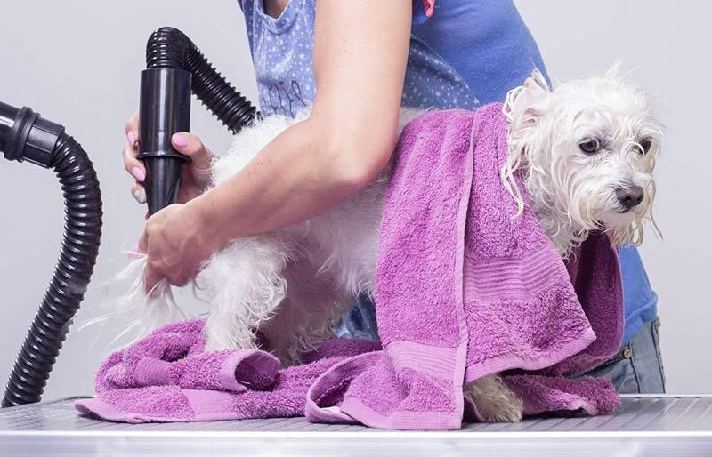 Secar-el-pelo-de-perros