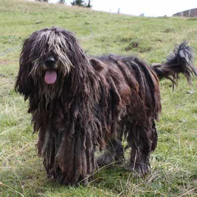 Begamasco perro con dreadlocks