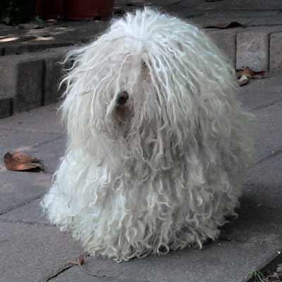 bichon habanero blanco perro rastafari