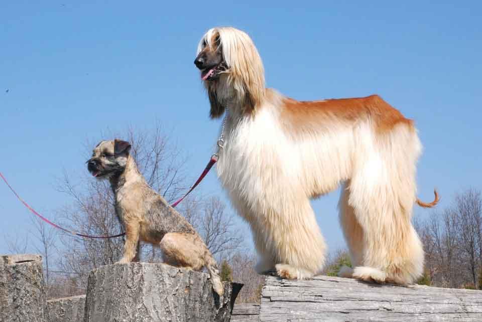 Perro afgano necesita de stripping en la linea dorsal