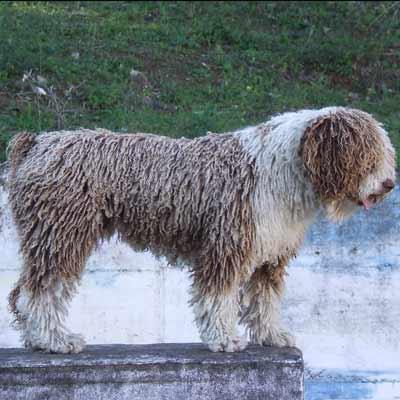 perro de agua español perro con rastas