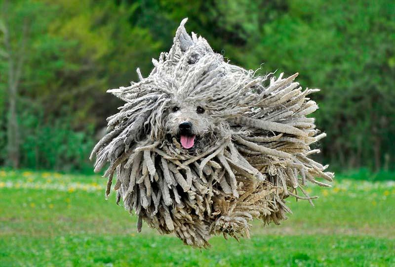 Perro con rastas: Los dreadlocks de un perro rastafari.