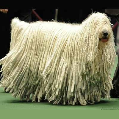 Perro komondor rastas en un perro