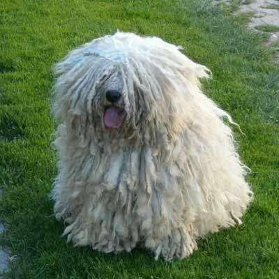 Puli Perro con rastas