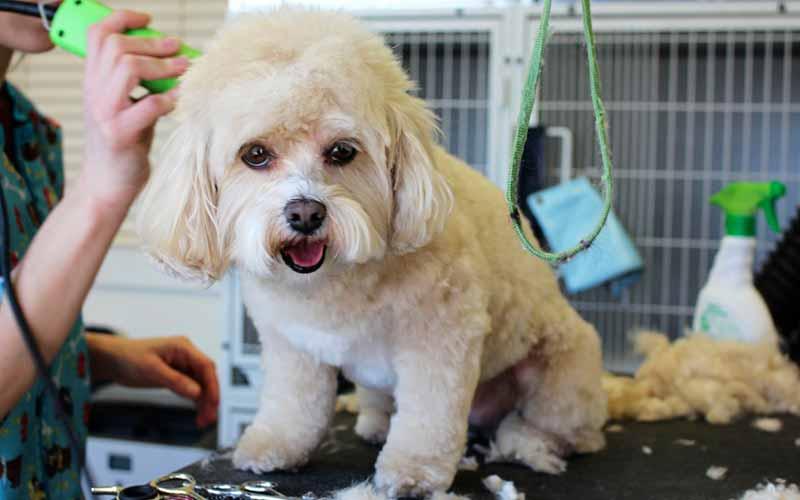 usando maquina de corte de pelo en perros