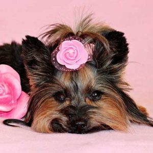 corte york shire terrier