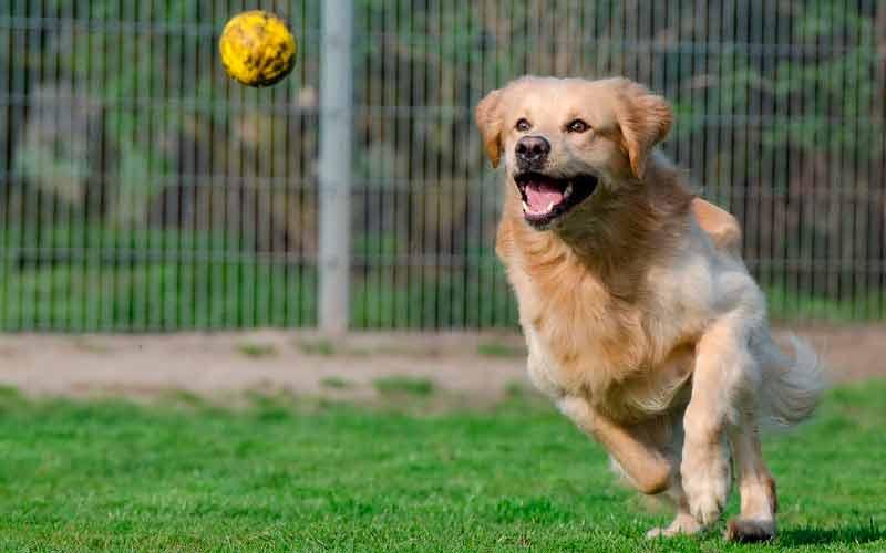 golden retriver animal agil y potente
