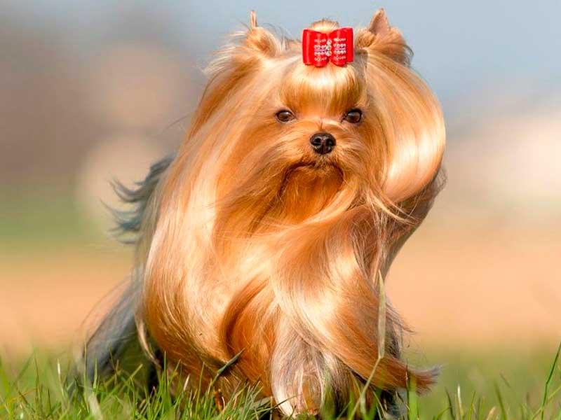 pelo liso y sedoso del yorkishire terrier
