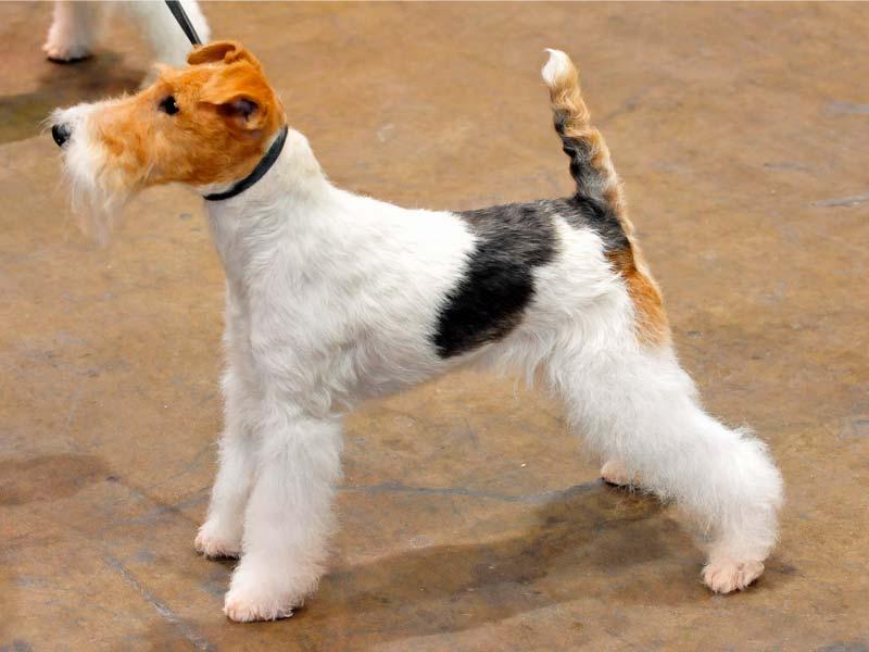 corte fox terrier de expocision