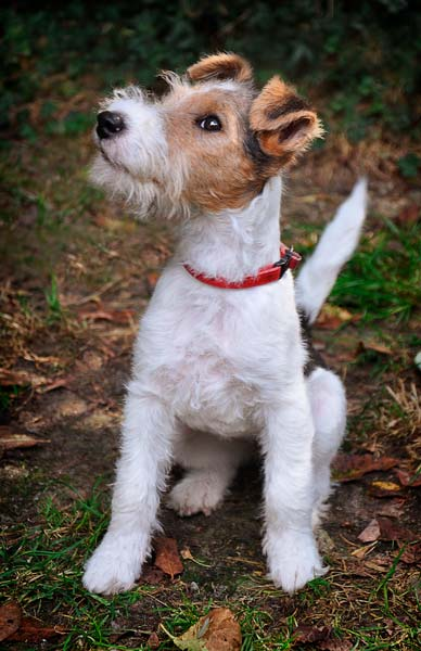fox terrier cachorro pelo duro