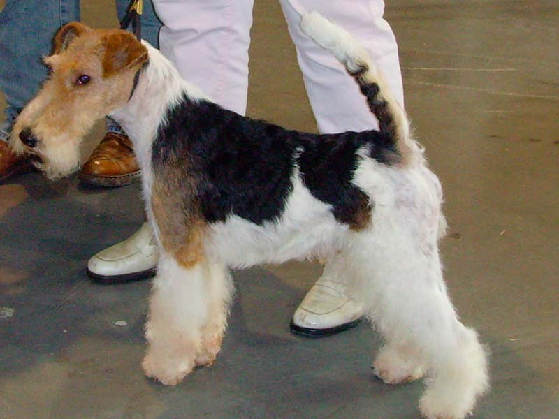fox terrier corte estandar