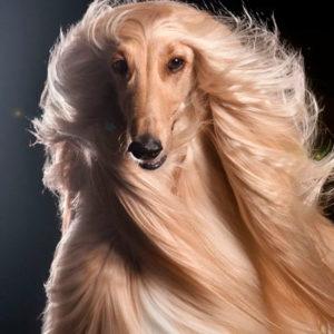 lebrel afgano corte de pelo