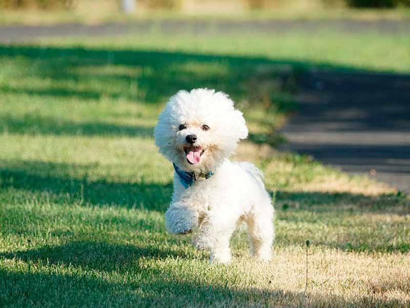 bichon corriendo en el pasto verde