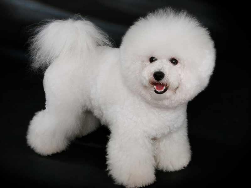 corte bichon frise pelo blanco