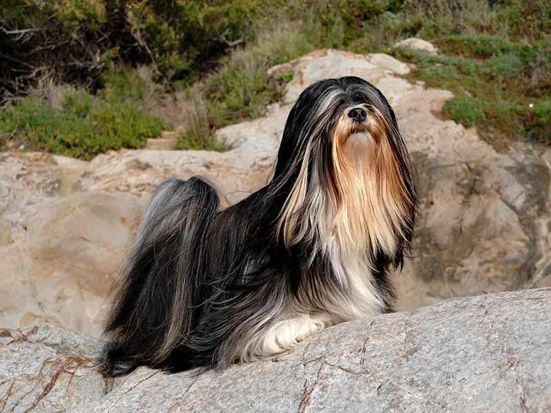 como cortar el pelo de un lhasa apso majestuoso