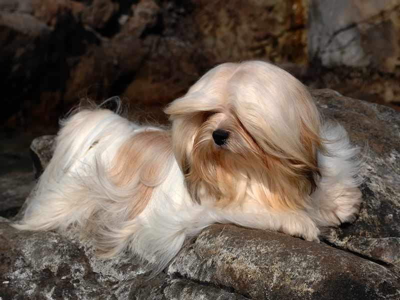 El pelo de lhasa apso es largo y suave