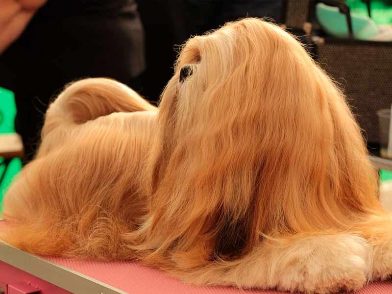 lhasa apso sin usar plancha de pelo