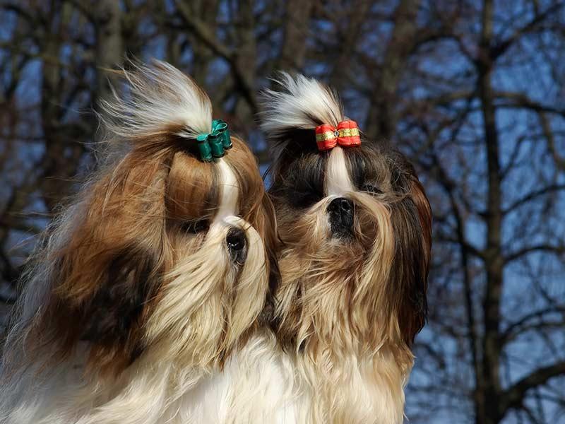 pelos-al-aire-pareja-shih-tsu-despues-de-grooming