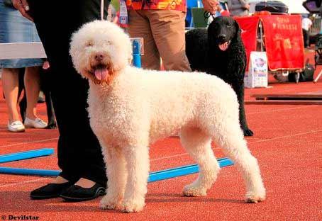 perro-de-agua-en-expo-blanco