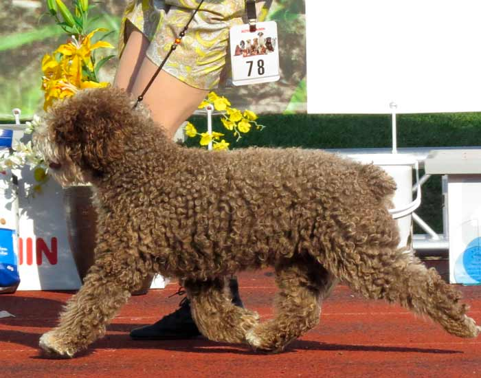 perro-de-agua-espanol-de-exposicion