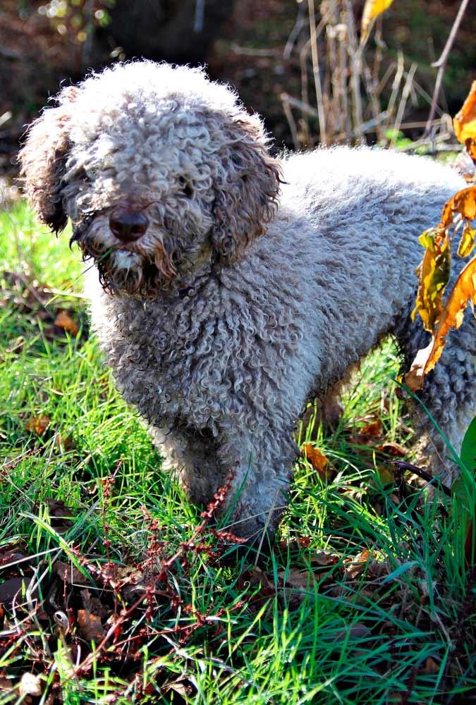 perro-de-agua-espanol-un-poco-sucio-blanco
